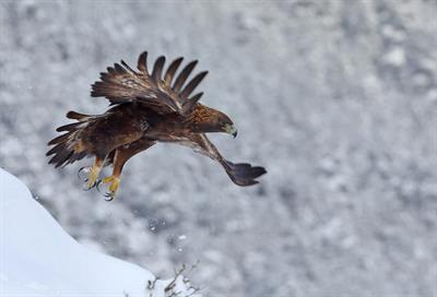 Aquila reale maschio adulto 2 - Foto M.Mendi