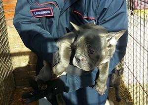 FOTO A RURBICA IN EVIDENZA  -Cuccioli bulldog