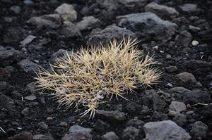 FOTO B_PSP2700_ETNA - Spinosanto -- Astragalus siculus