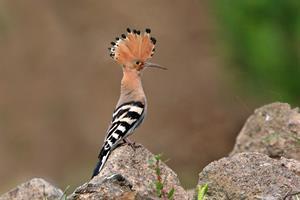 Upupa   ---  Foto L. Sebastiani www.birds.it