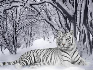 FOTO D Tigra Siberiana
