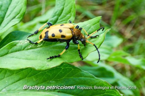 Brachyta petriccionei (foto B. Petriccione)