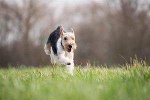 DOMESTICI - Filariosi cane 1