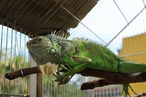 DOMESTICI - Iguana 2