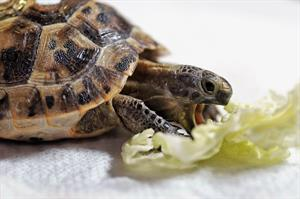 DOMESTICI - Tartaruga mediterranea (cucciolo)