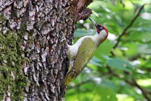 FOTO D - Picchio verde - L.Sebastiani-www.birds.i
