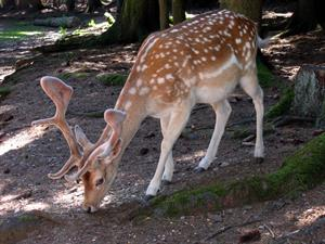 FOTO D roe-deer-101469