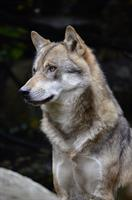 FOTO C wolf-1336224