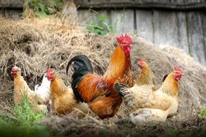 pollame vario.