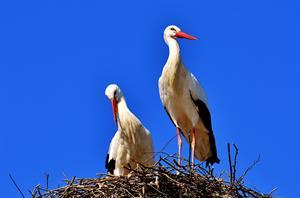 SELVATICI - Cigogna, nido 2