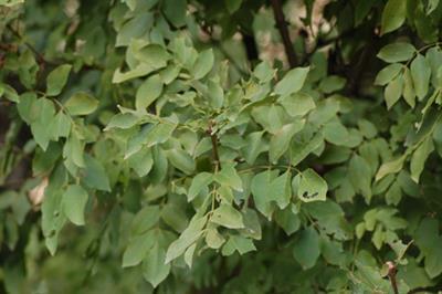 olaceae